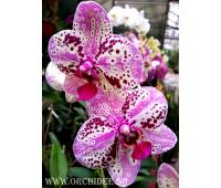 Phalaenopsis PH 067 Frontera