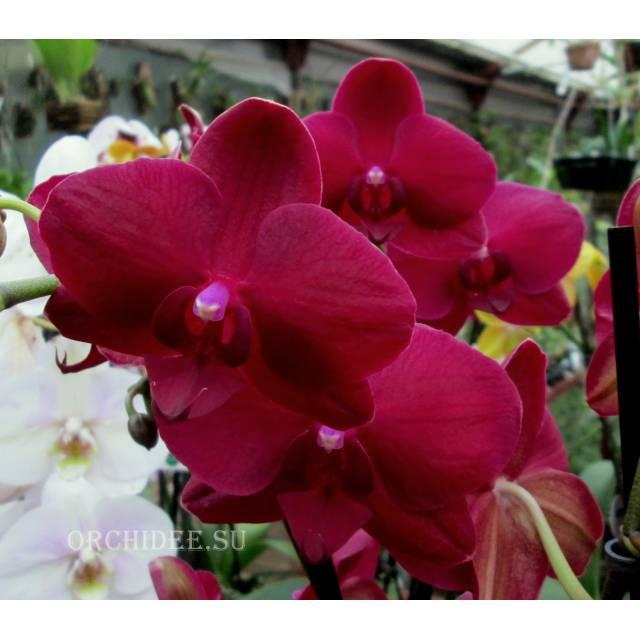 Phalaenopsis PH 079 Pavarotti