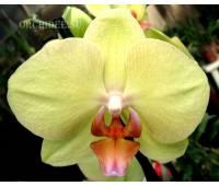 Phalaenopsis PH 082 Fusheng's Golden Age 'Golden Star'