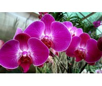 Phalaenopsis PH 084