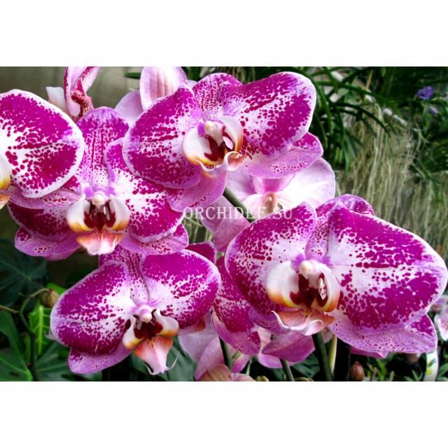 Phalaenopsis PH 088 Fuller's Light (Chian Xen Pearl x Fureshing Speckle)