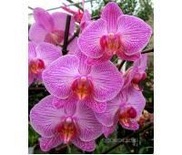 Phalaenopsis PH 089 New Striped Pink