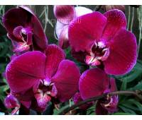 Phalaenopsis PH 103 Clarton
