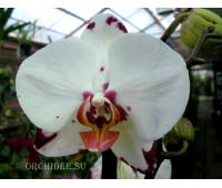 Phalaenopsis PH 106 Rousseau
