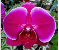Phalaenopsis PH 107 Emperor Jewel