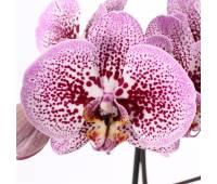 Phalaenopsis PH 215 Andorra