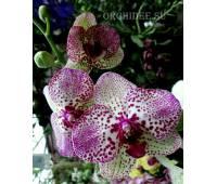 Phalaenopsis PH 125 Kleopatra 4