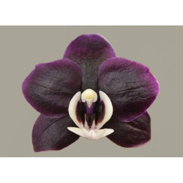 Phalaenopsis PH 127 Kaoda Twinkle 'Chocolate Drops'