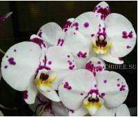 Phalaenopsis PH 130