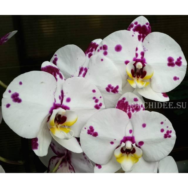 Phalaenopsis PH 130
