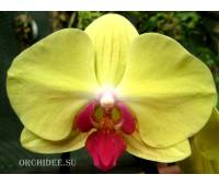 Phalaenopsis PH 136 Goldion