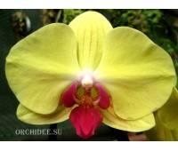 Phalaenopsis PH 136 Goldion