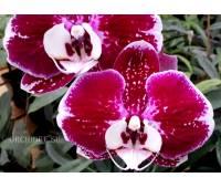 Phalaenopsis PH 138/1