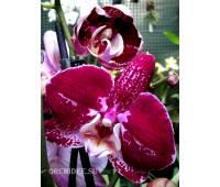 Phalaenopsis PH 138 Agnes