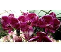 Doritaenopsis PH 139 Fusheng Pink Pearl 'KHM2155'