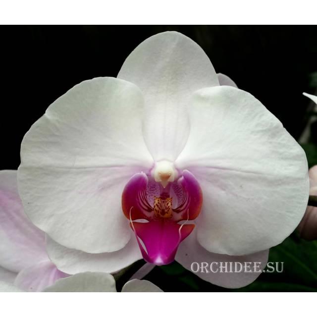 Phalaenopsis PH 143