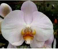 Phalaenopsis PH 144