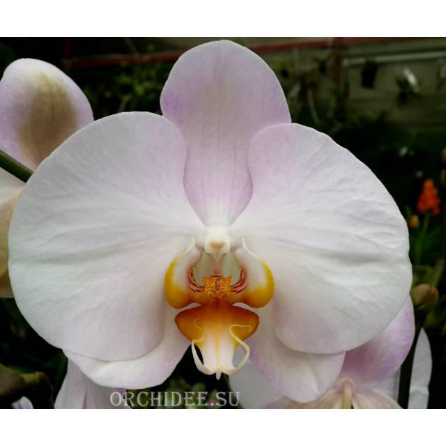 Phalaenopsis PH 144