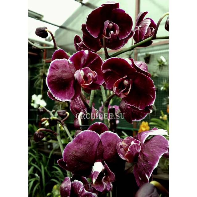Phalaenopsis PH 145 Magic Art (Dark)