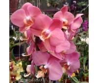 Phalaenopsis PH 153