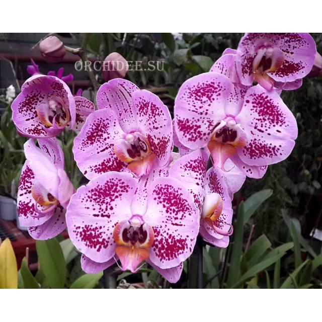 Phalaenopsis PH 154