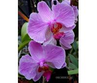 Phalaenopsis PH 156