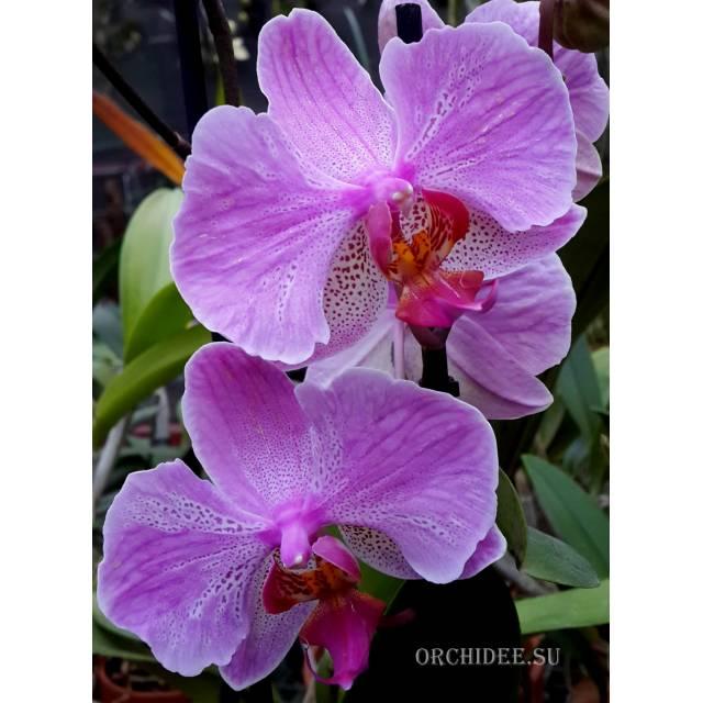 Phalaenopsis PH 156