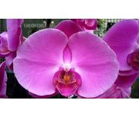 Phalaenopsis PH 157 Atlantis