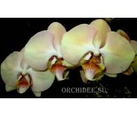 Phalaenopsis PH 159 Champagne