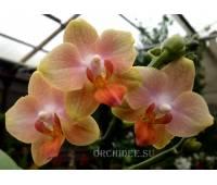 Phalaenopsis PHM 069 Willemstad