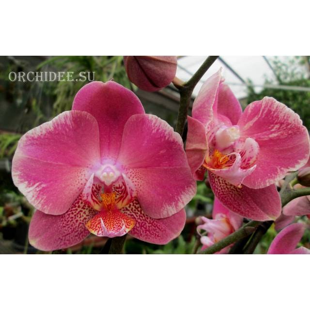 Phalaenopsis PH 166