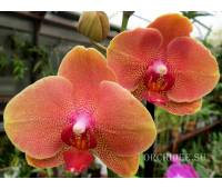 Phalaenopsis PH 167