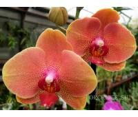 Phalaenopsis PH 167