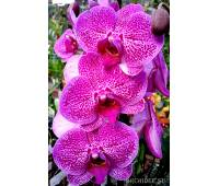 Phalaenopsis PH 168