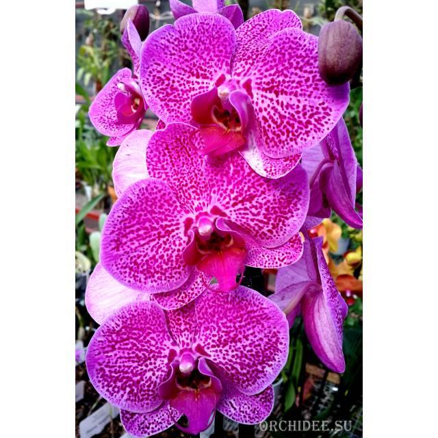 Phalaenopsis PH 168
