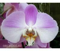 Phalaenopsis PH 171 Empada So Satisfied