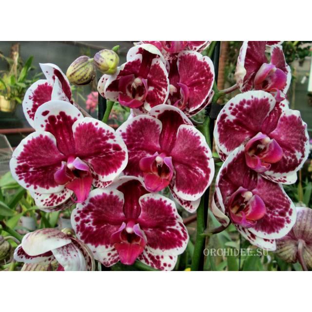 Phalaenopsis PH 172 Purple Rain