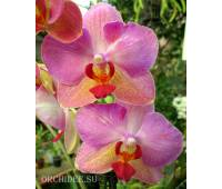Phalaenopsis PH 173