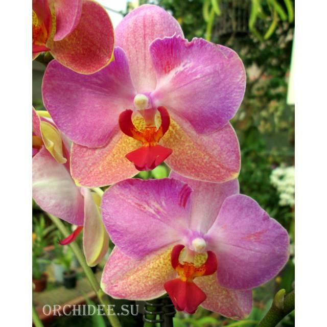 Phalaenopsis PH 173