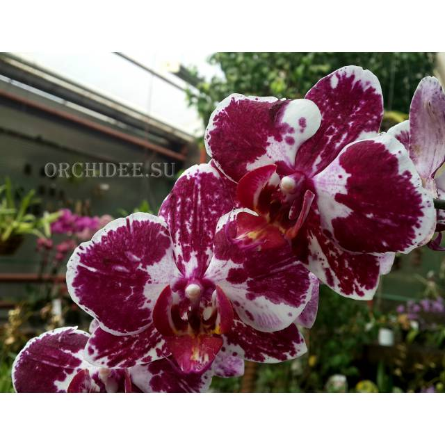 Phalaenopsis PH 176 Asian Pearl