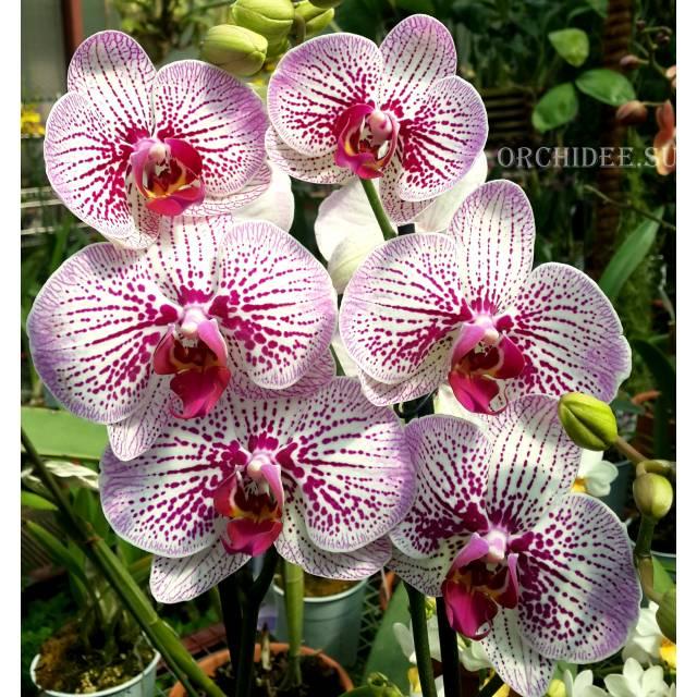 Phalaenopsis PH 177 Mansion