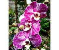 Phalaenopsis PH 180