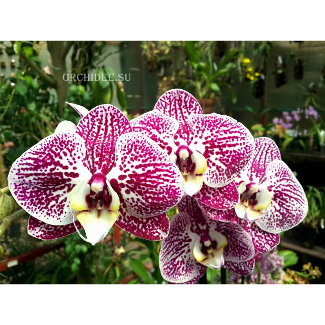 Phalaenopsis PH 181