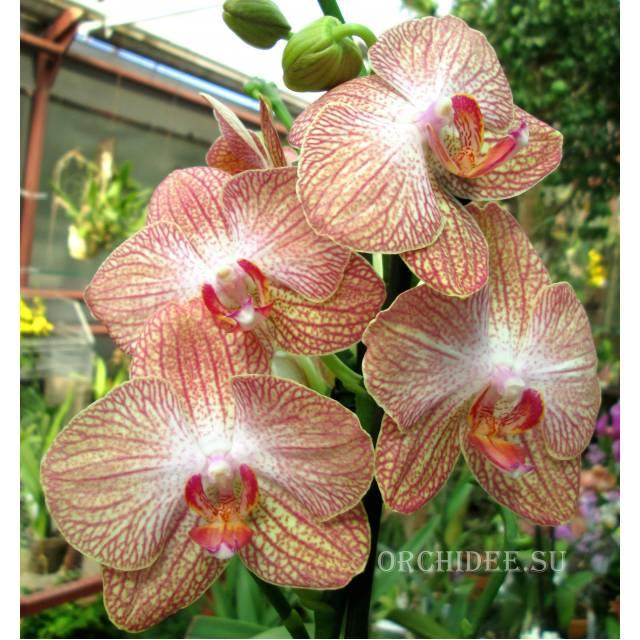 Phalaenopsis PH 182 Ravello