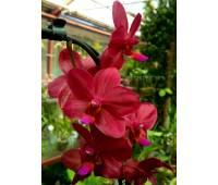 Phalaenopsis PH 185 Piccolo Red