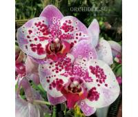 Phalaenopsis PH 186  Elegant Beauty Pink