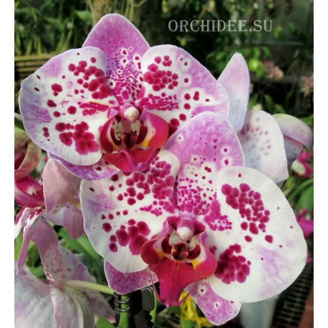 Phalaenopsis PH 186  Elegant Beauty Pink