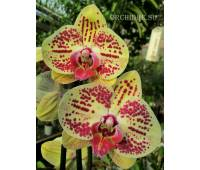 Phalaenopsis PH 187 Golden Dragon