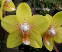 Phalaenopsis PH 188 Brother Lawrence