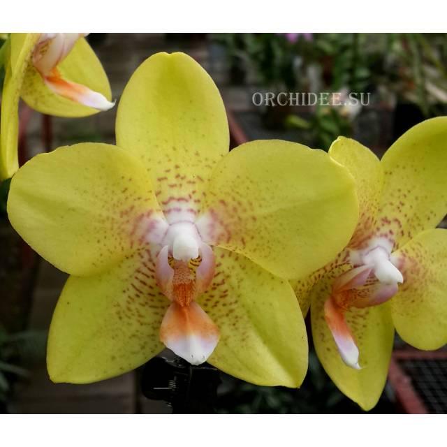 Phalaenopsis PH 188 Brother Lawrence